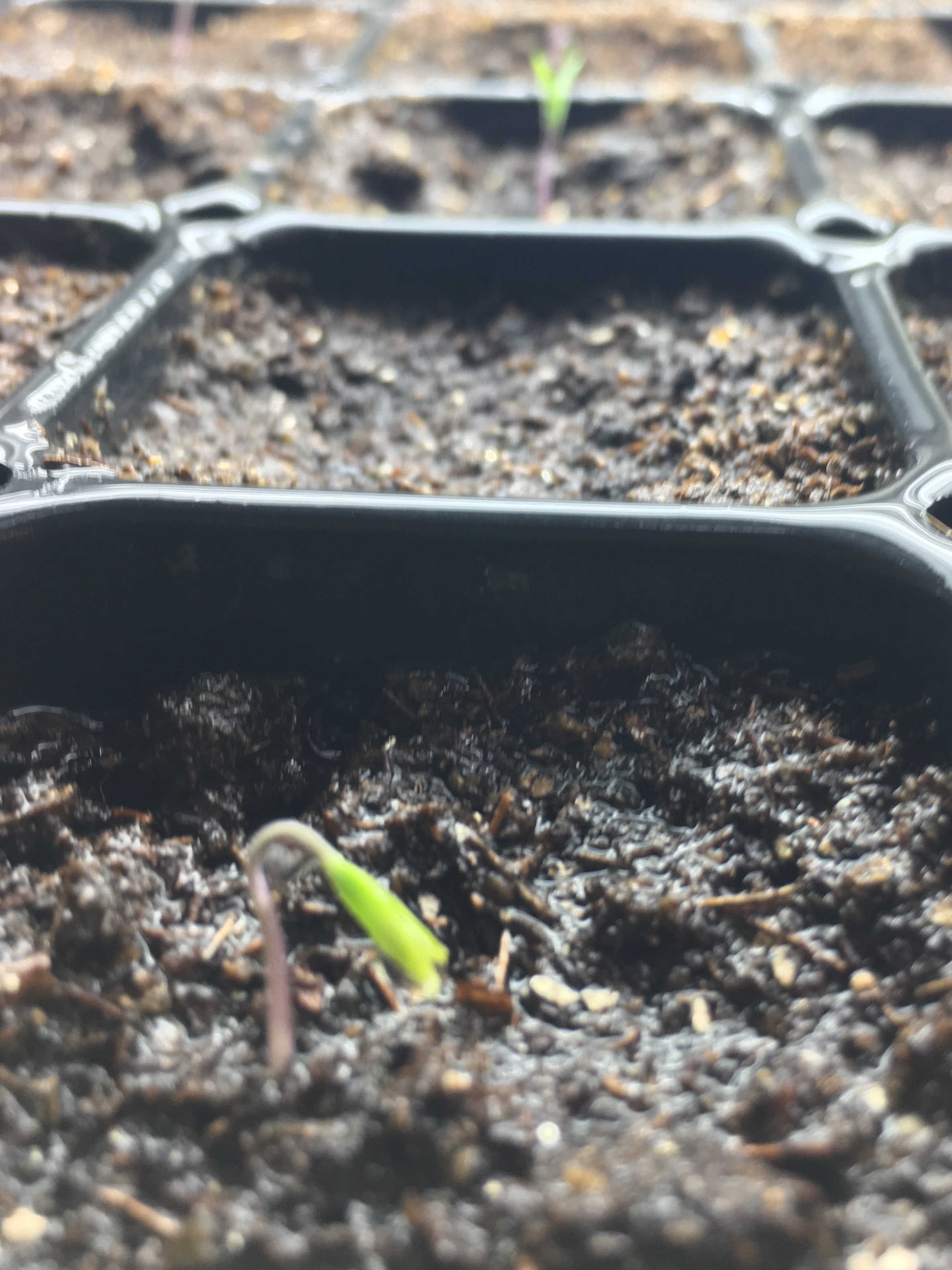 Berkeley Tie-Dye tomatoes germinating