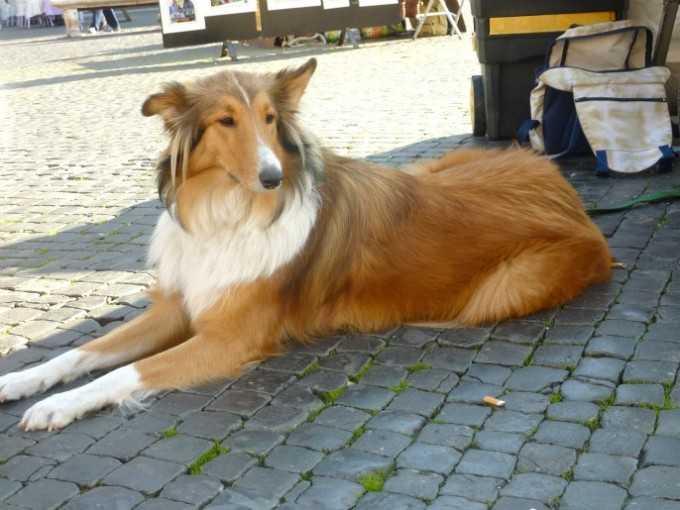 23 Rome collie dog