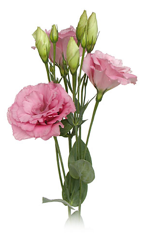 Lisianthus Rose pink  Source