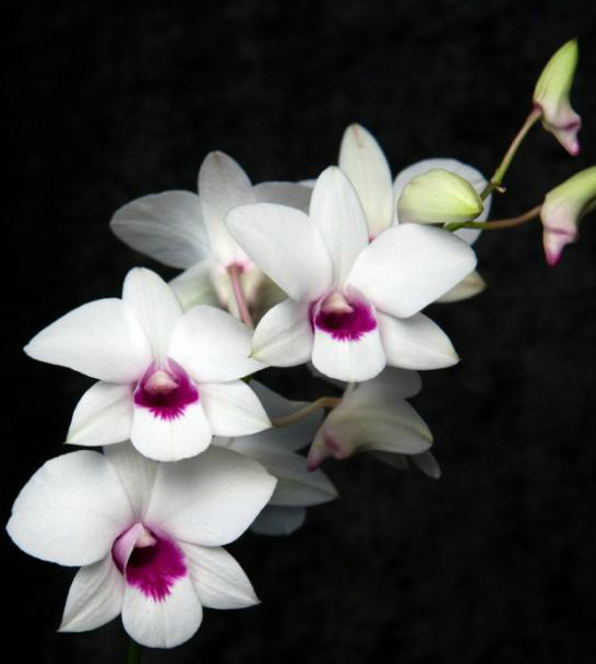 white magenta dendrobium orchid via  Source