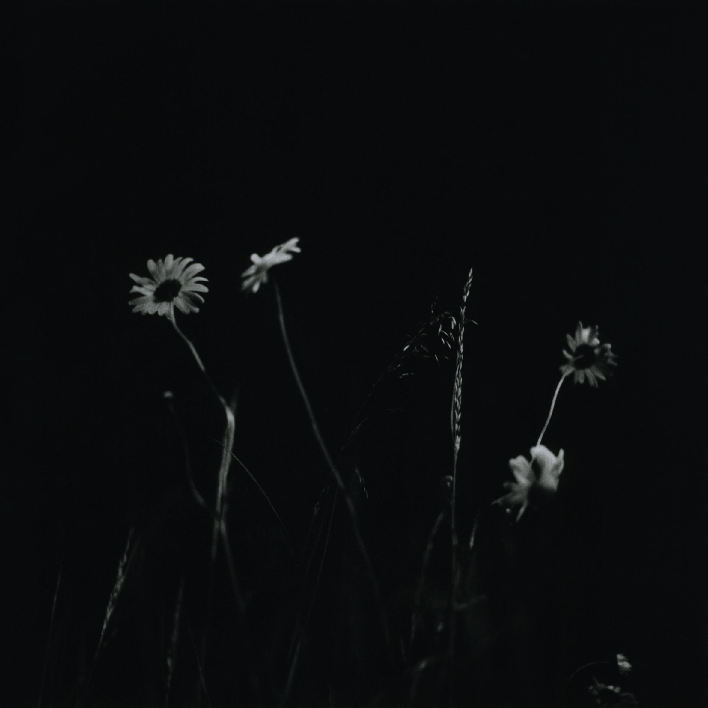 Daisies M6 (2).jpg