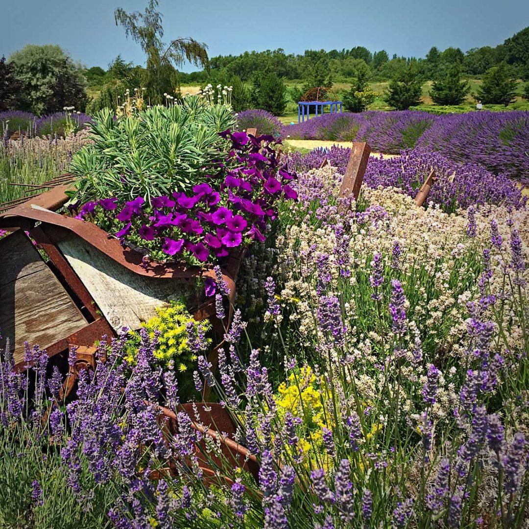 lavender-garden.jpg