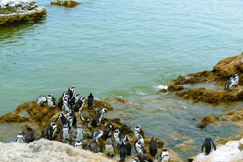 Penguins line the rocks at Betty's Bay