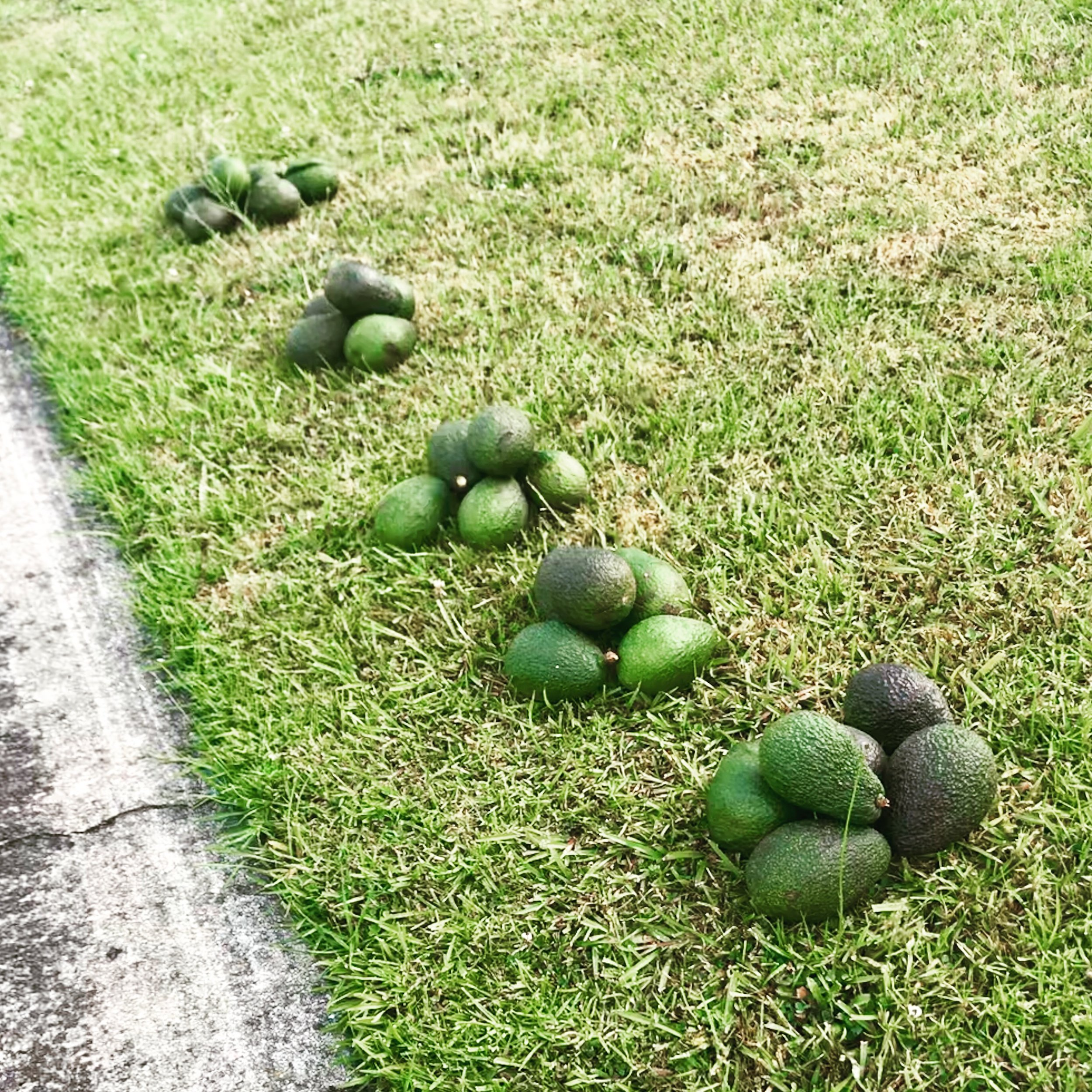 Free avocados on the verge, Africa style