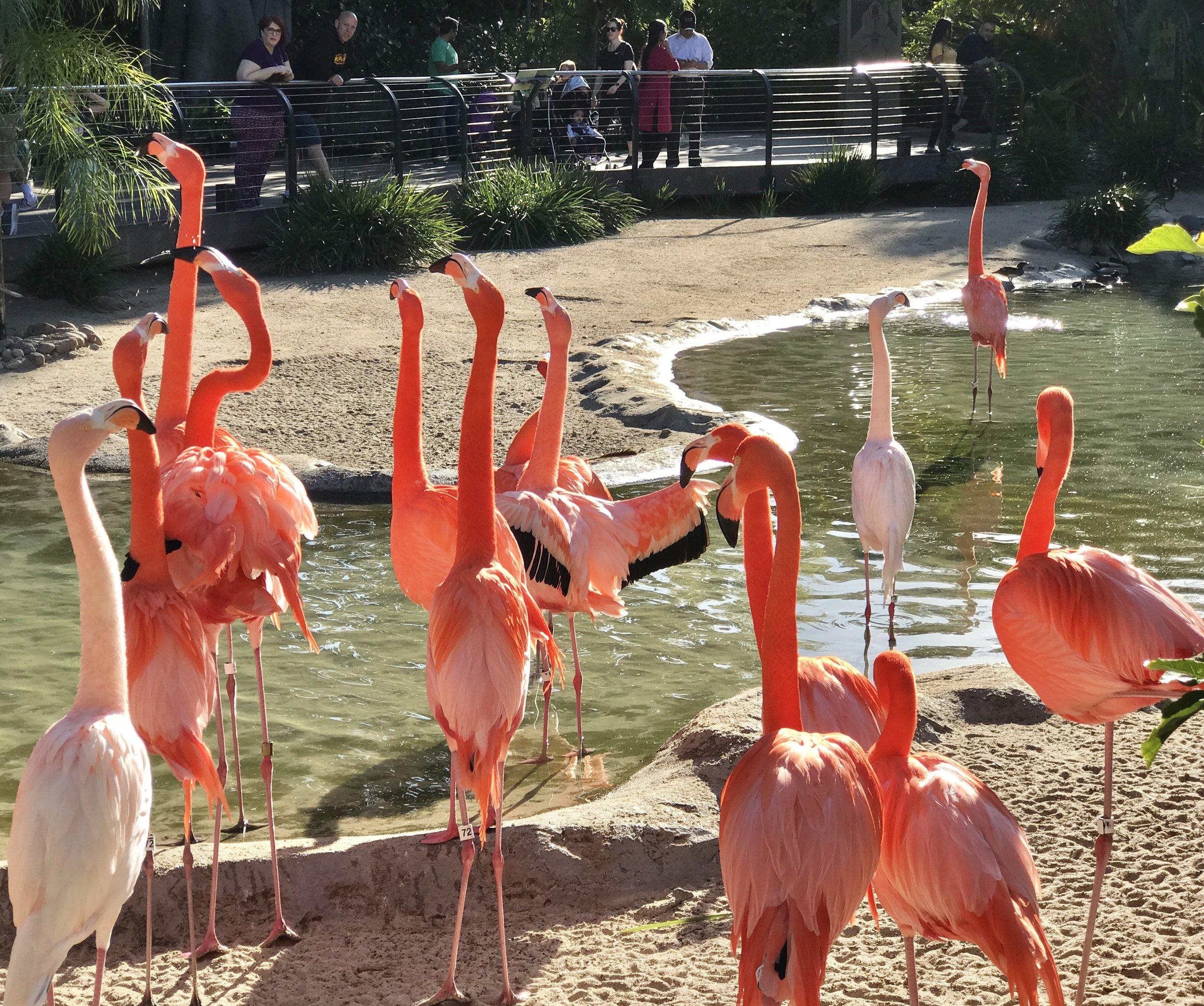 Flamingos at the zoo