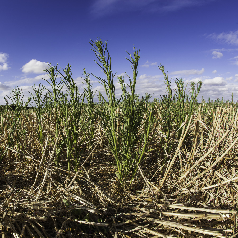 Agricultural weeds