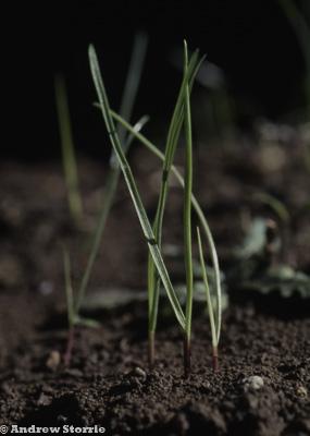 Phalaris paradoxa 1.5 leaf - a monocotyledon