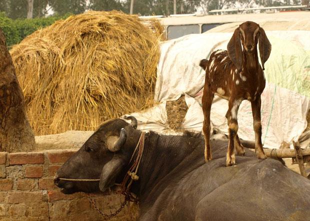 goat_cow_flickr.jpg