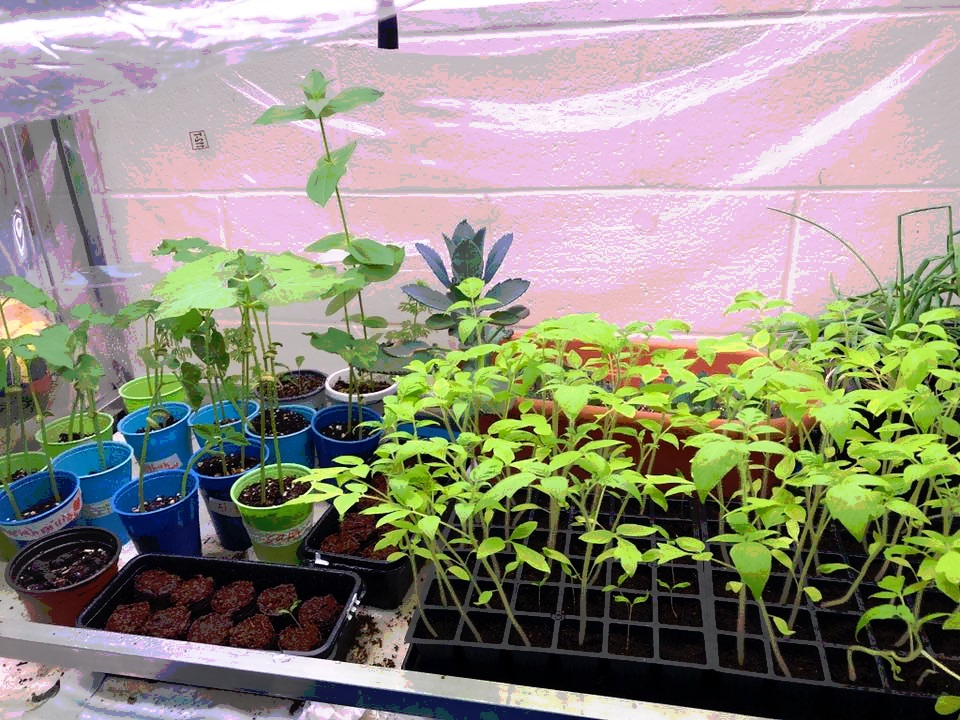 """""""My CI special Ed students and I participate in the Citizen Science project called Tomatosphere. Half of the seeds we plant spent a month on the ISS. We grow to harvest for yummy salsa in the fall.""""   Michelle Kirkland Mount Clemens Middle School, in Mount Clemens, MI"""
