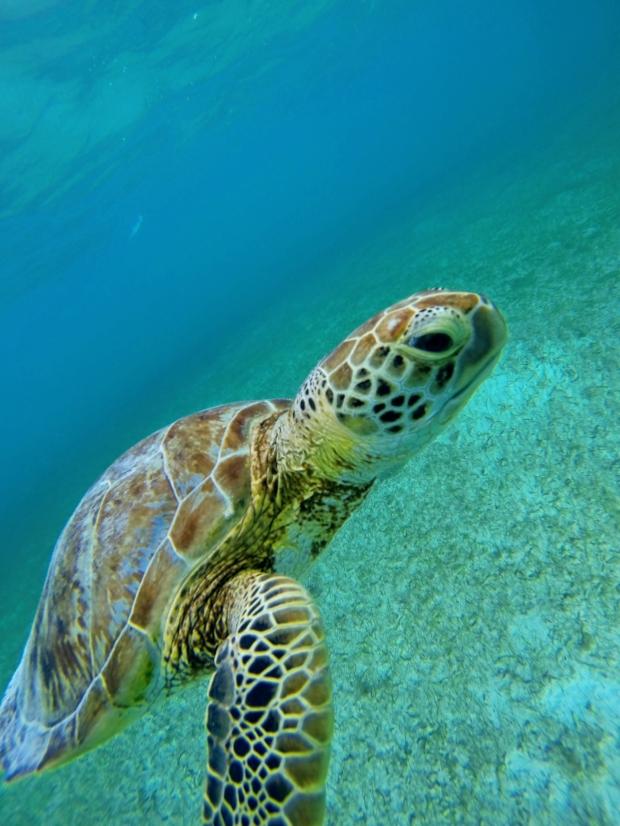 Curious turtle at Akumal. I think he said his name was Jim.