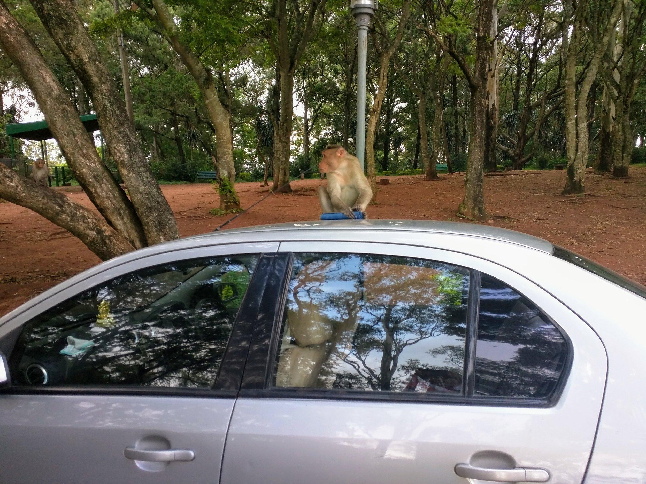 Beware of the Monkey Thief!