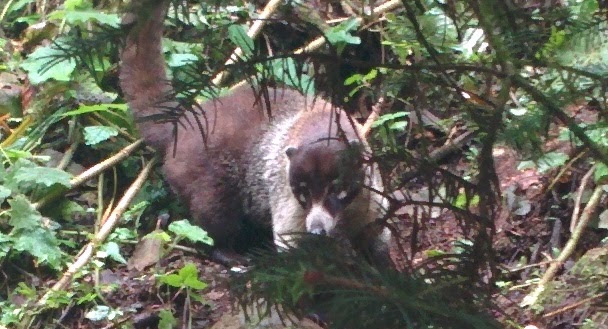White Nosed Coatis lurking around the springs