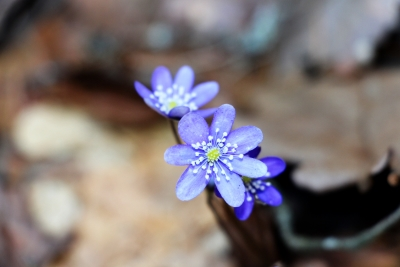 violets in spring2.jpg