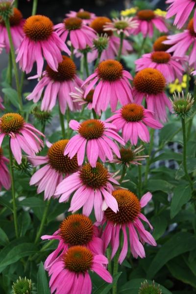 echinacea-purpurea-kims-red-knee-high.i-8701.s-61419.r-01.jpg