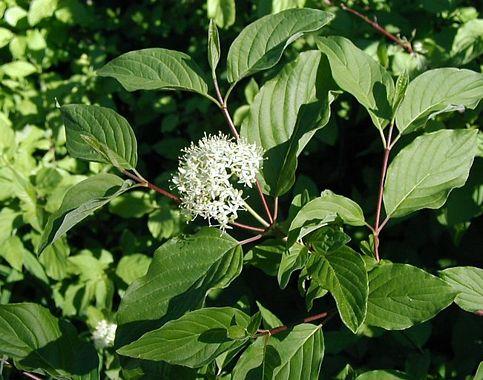 Cornus_sericea_ssp_occidentalis_image51.jpg