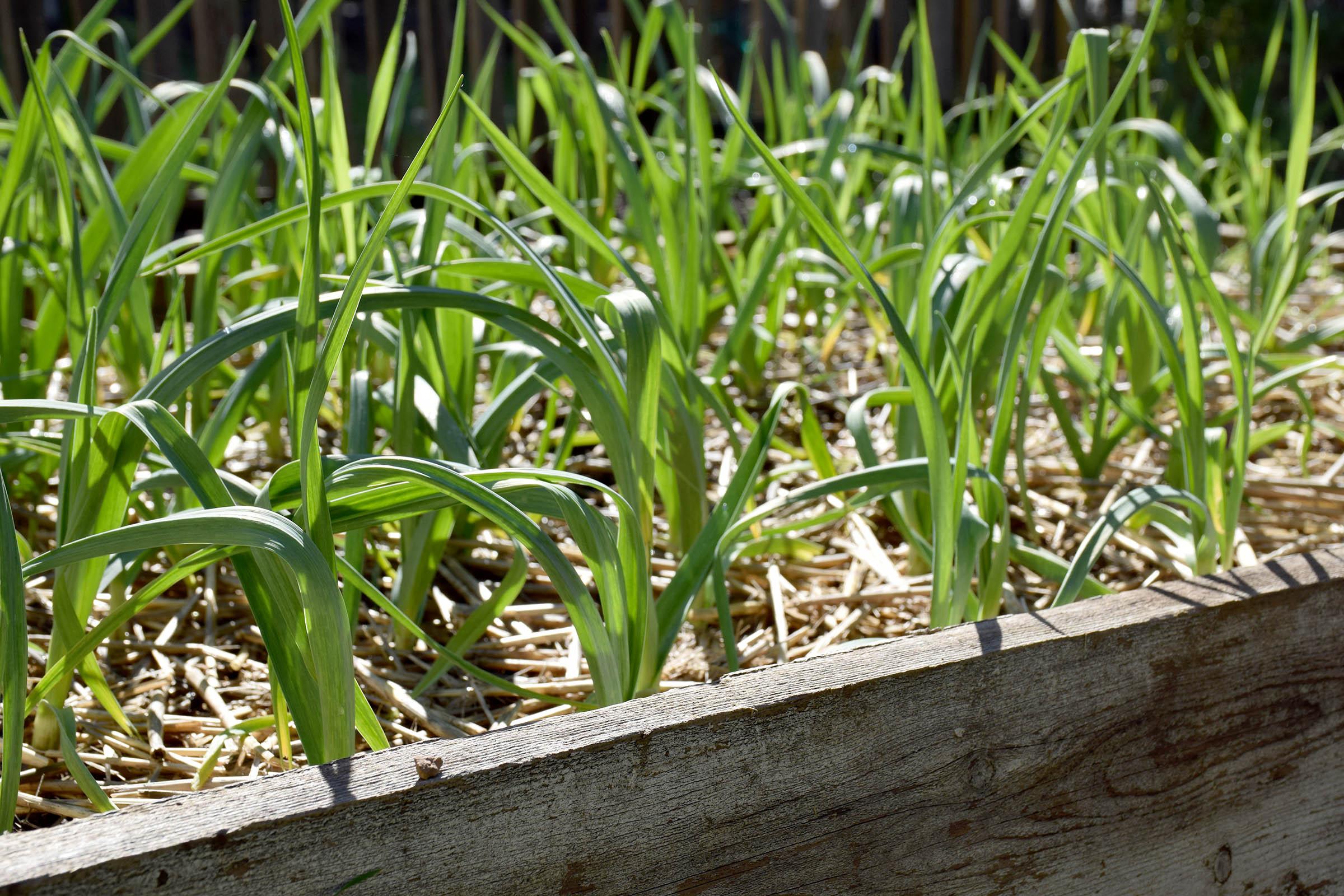 garlic_bed.jpg