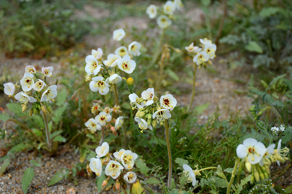 Brown-eyed Evening Primrose,  Camissonia claviformis