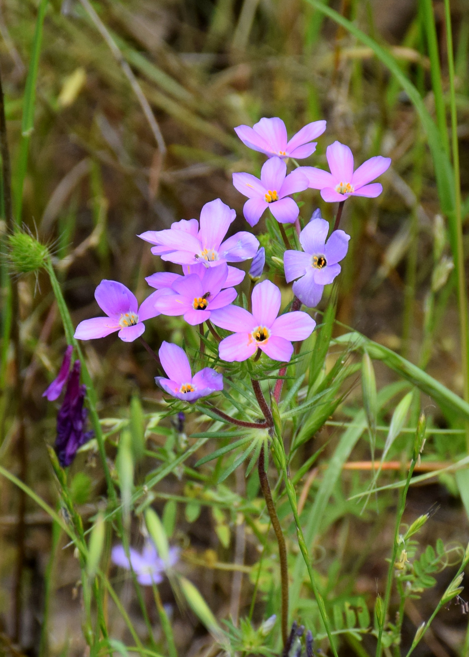 linanthus_androsaceus.jpg