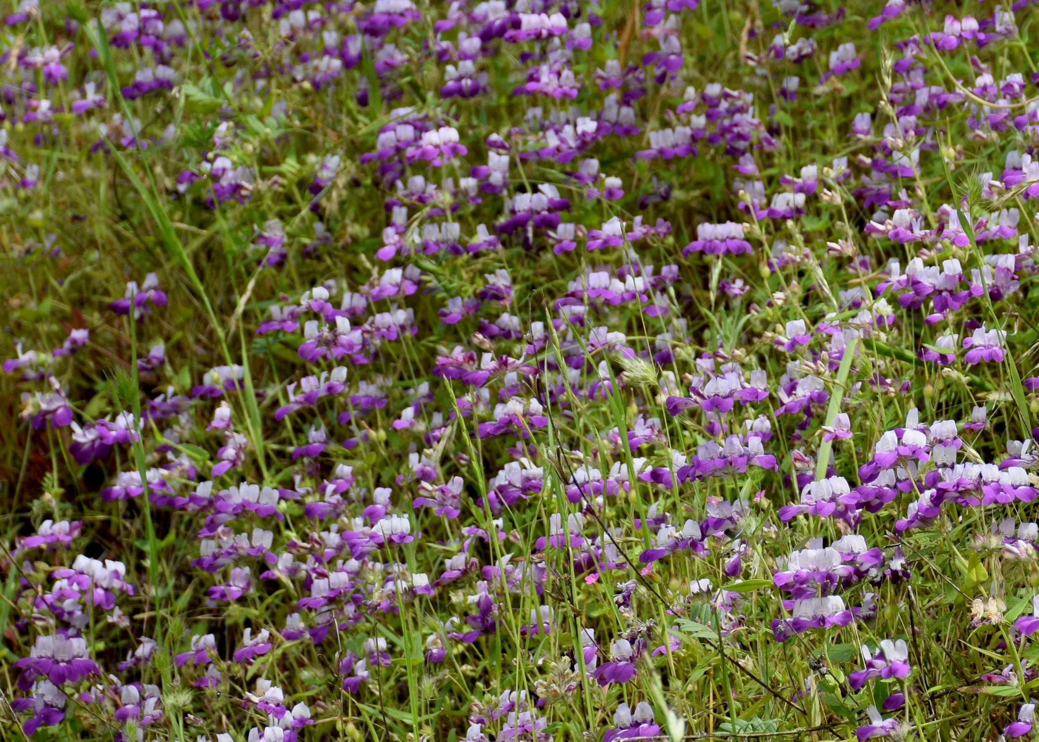 A large grouping of Collinsia heterophylla, Chinese Houses
