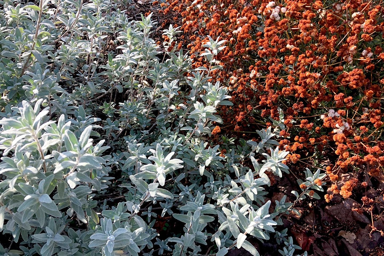 Salvia leucophylla  and  Eriogonum fasciculatum , October 2018