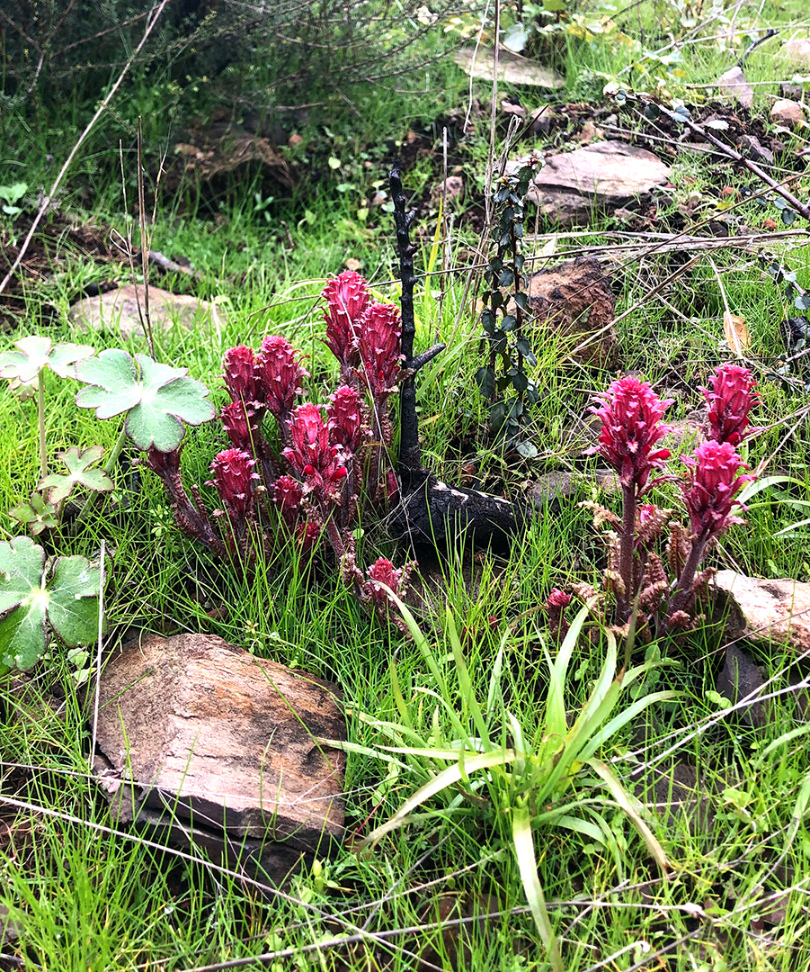 Pedicularis densiflora , Indian Warrior