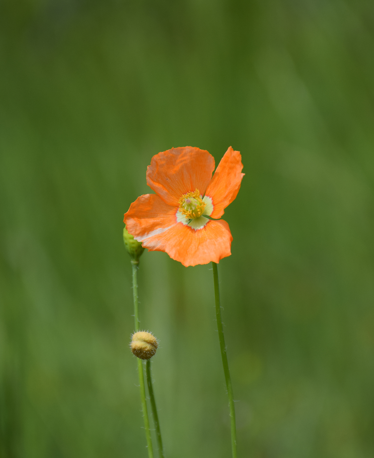 Papaver californicum, a delicate rare beauty.