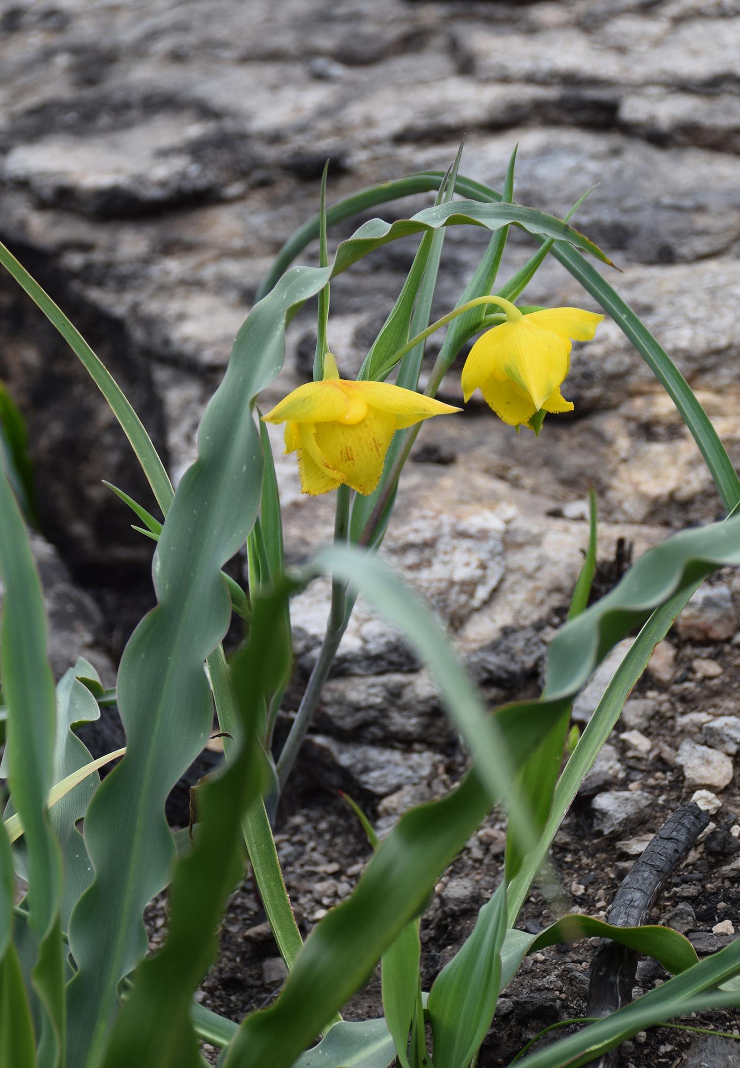 Calochortus amabilis , Golden Fairy Lantern