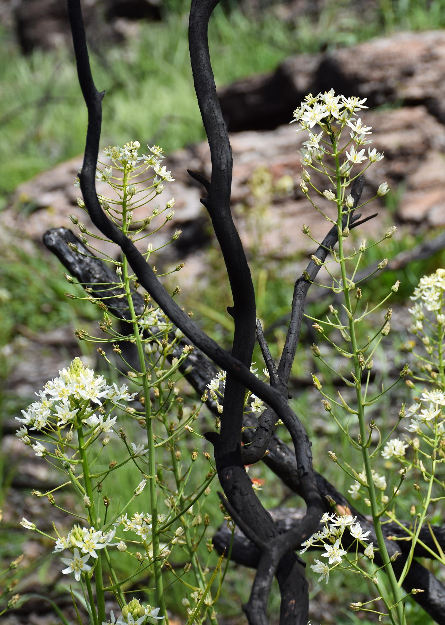 Toxicoscordion fremontii , Fremont's Star Lily