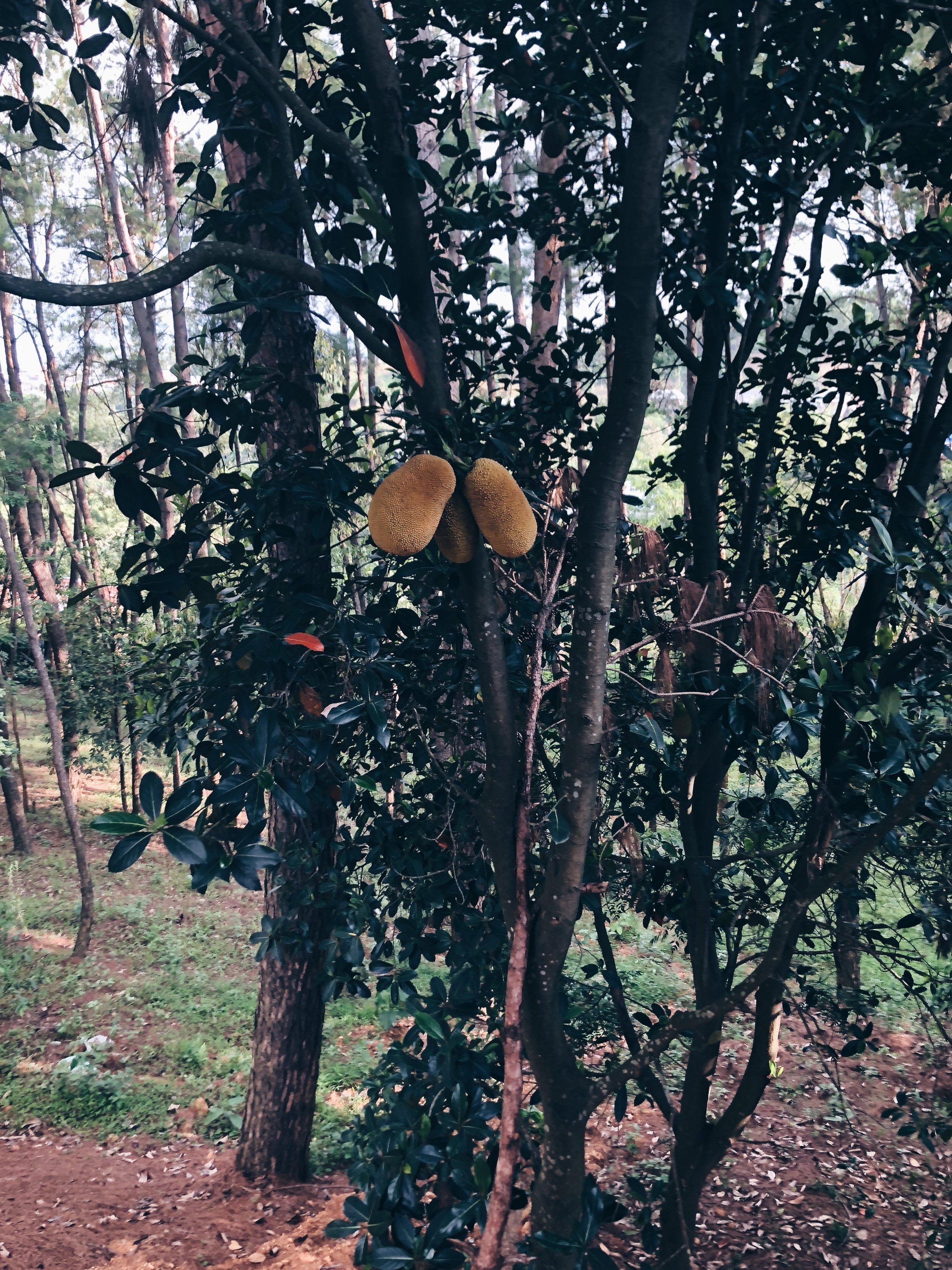 Papaya tree next to our house in Sielmat!