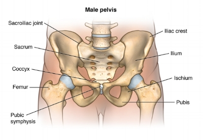 expanded-anatomy-of-the-male-pelvis-322083.jpg