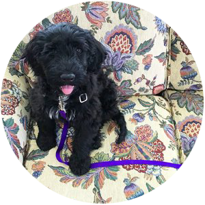 Private dog training at home- black portuguese water dog puppy, potty training, chewing in Maryland.