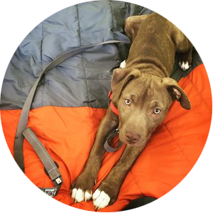 Day training homeschool for pitbull puppy and dog in Maryland.