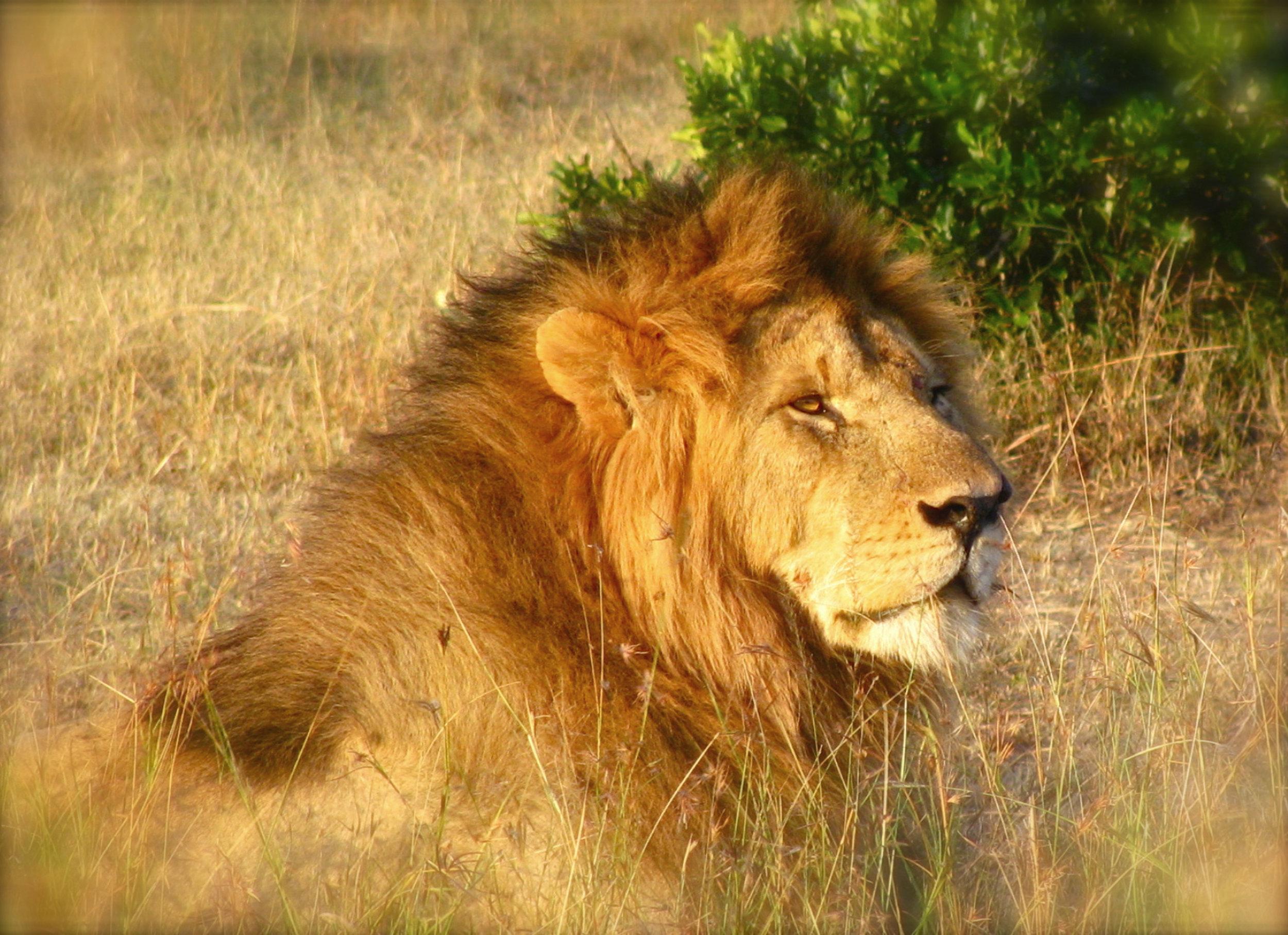 300 dpi best Male lion.jpg