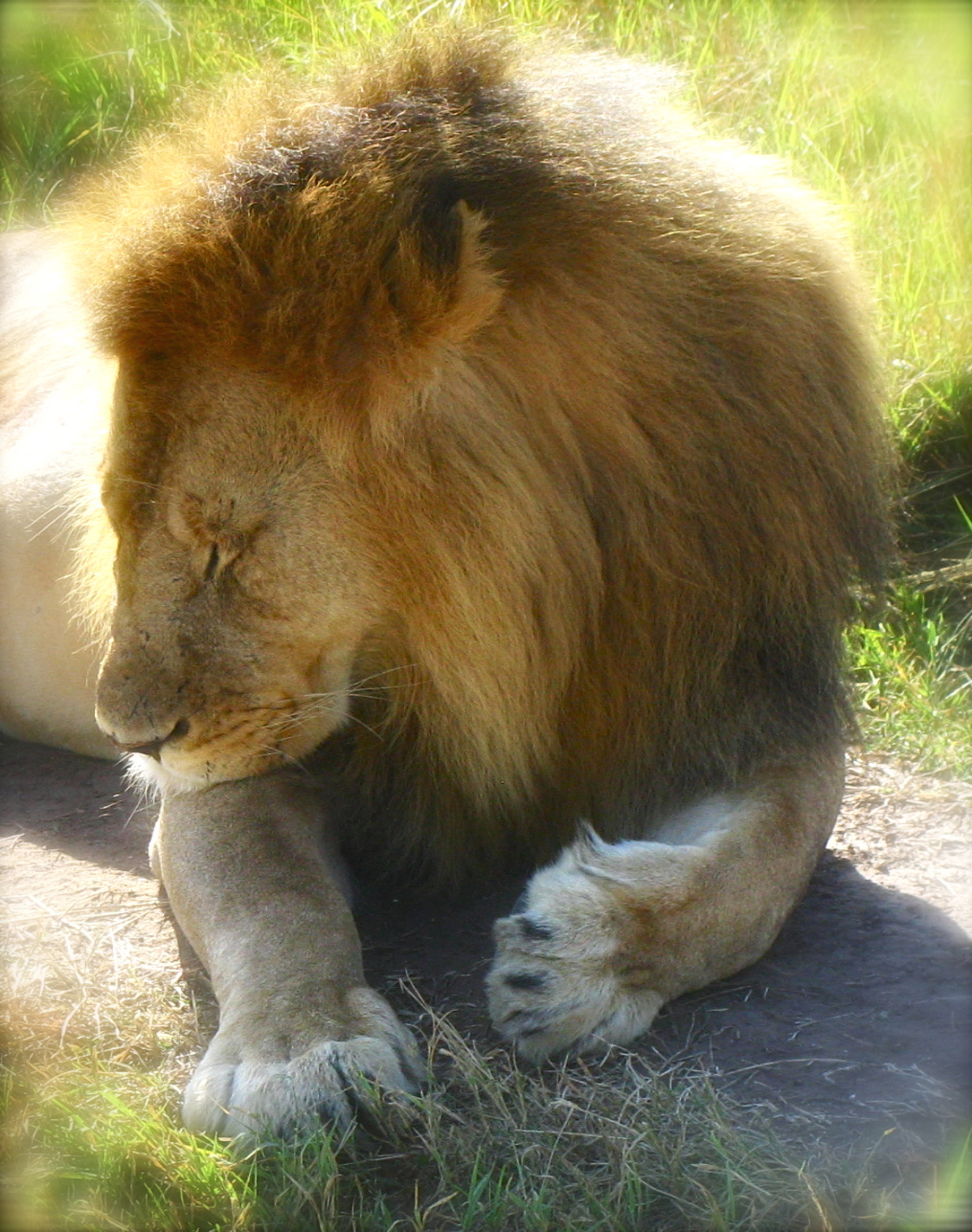 Male Lion napping.jpg