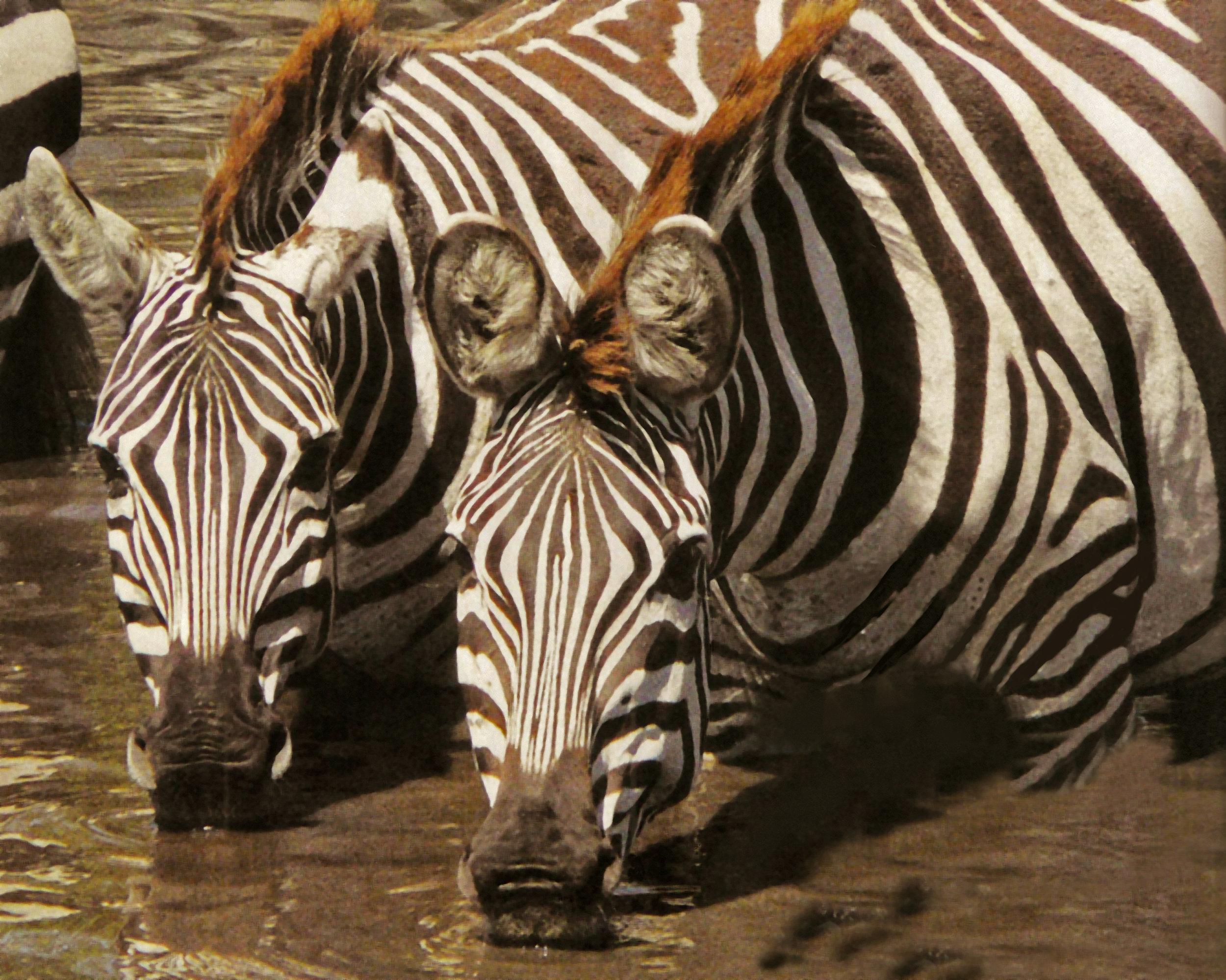 Zebras for Lisa 001.jpg