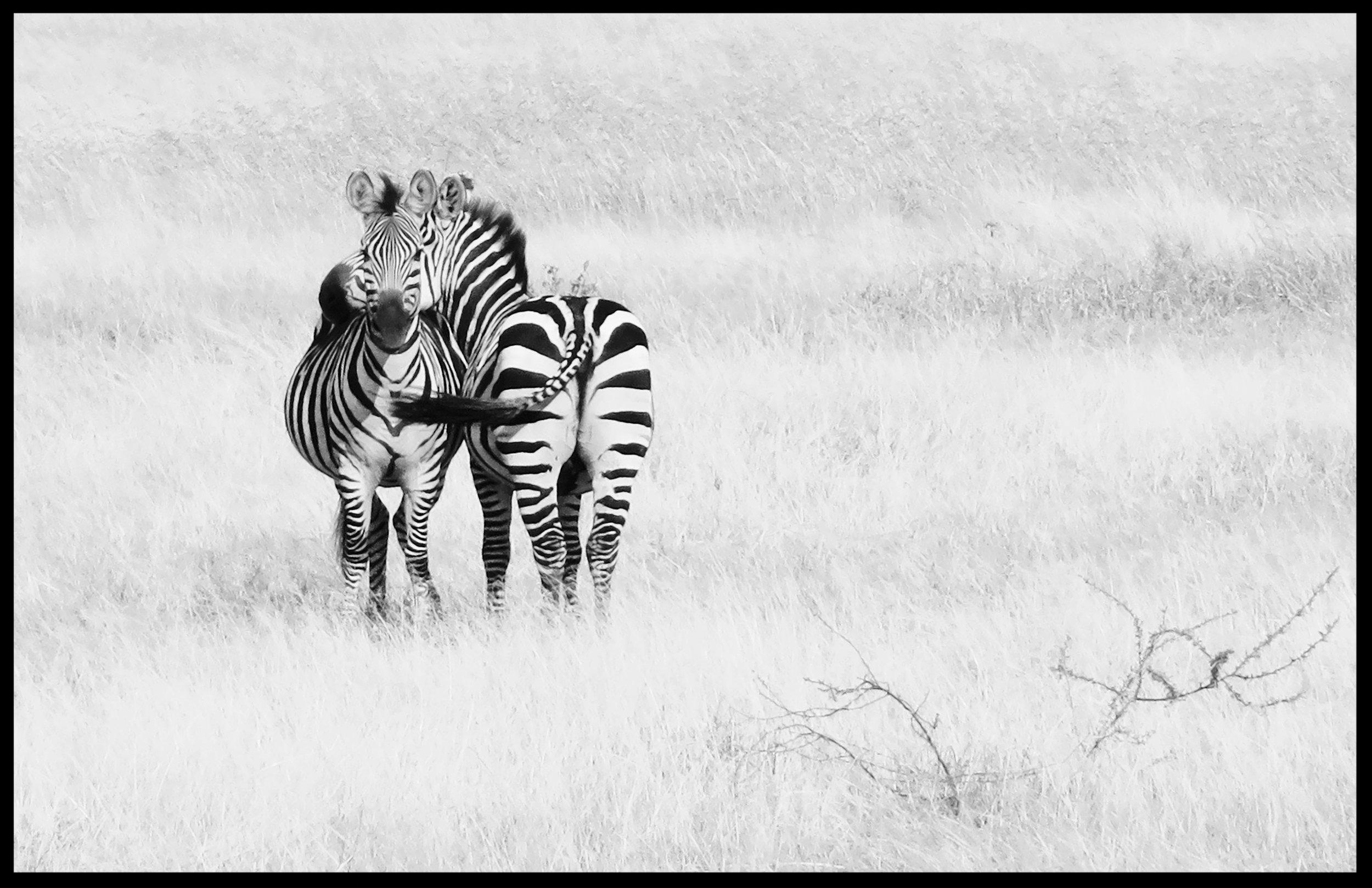 Zebras on white   11x17 on Fine Art Paper
