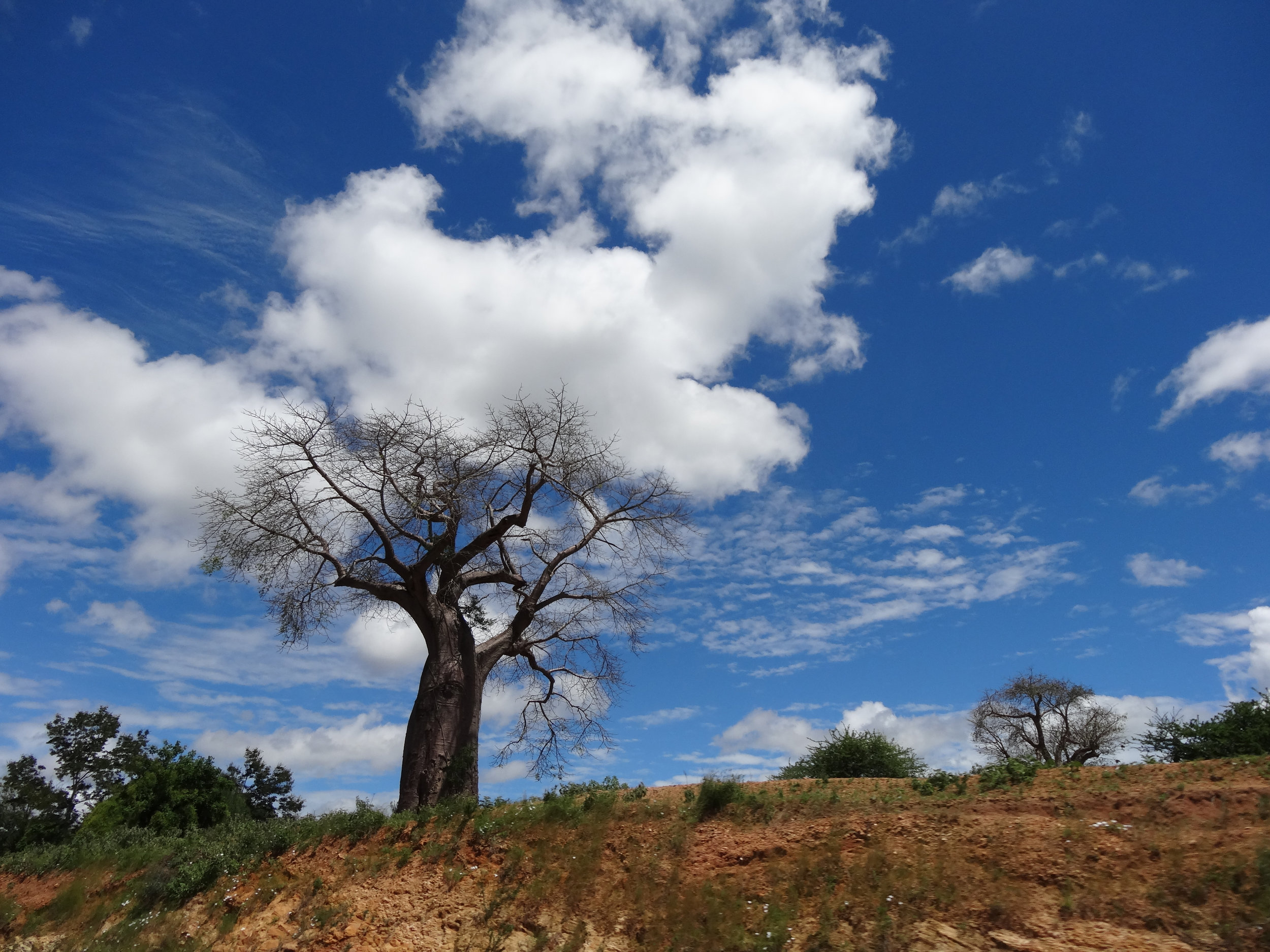 Boabob tree against sky with clouds.jpg