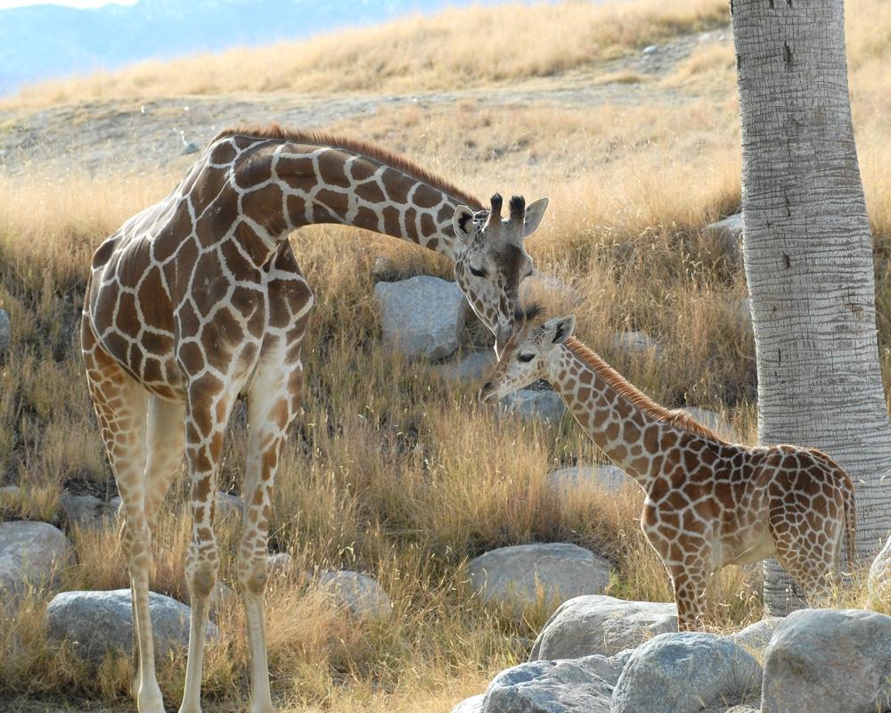 Giraffe 3, The Living Desert