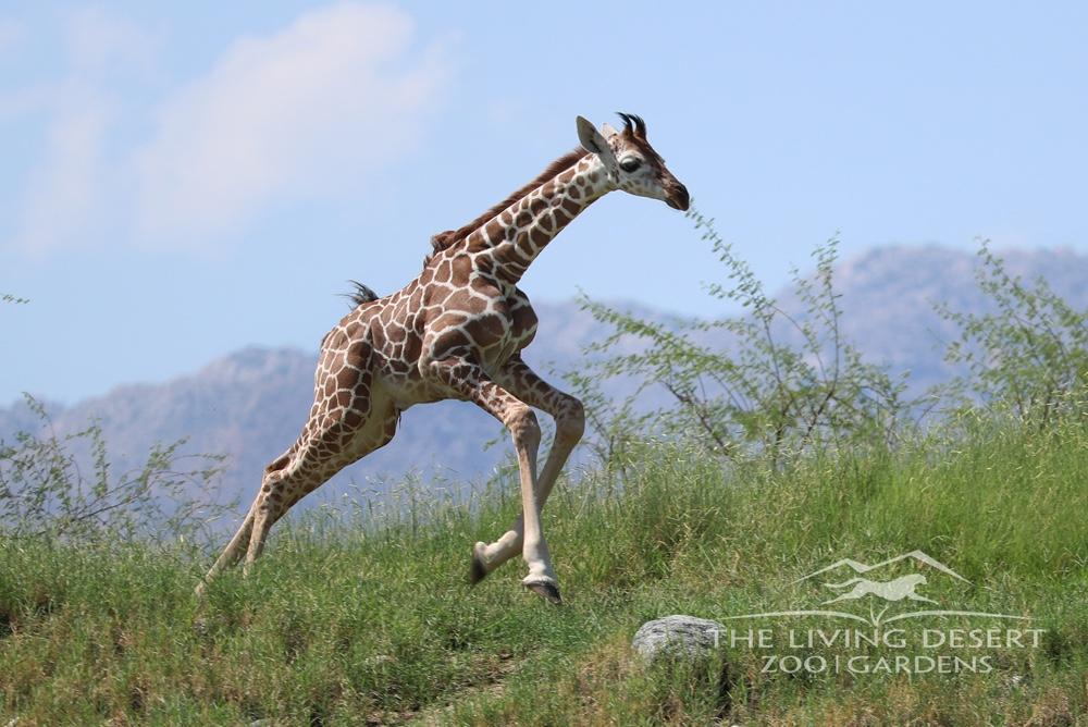 Shellie Giraffe Calf Born at TLD (1).jpg