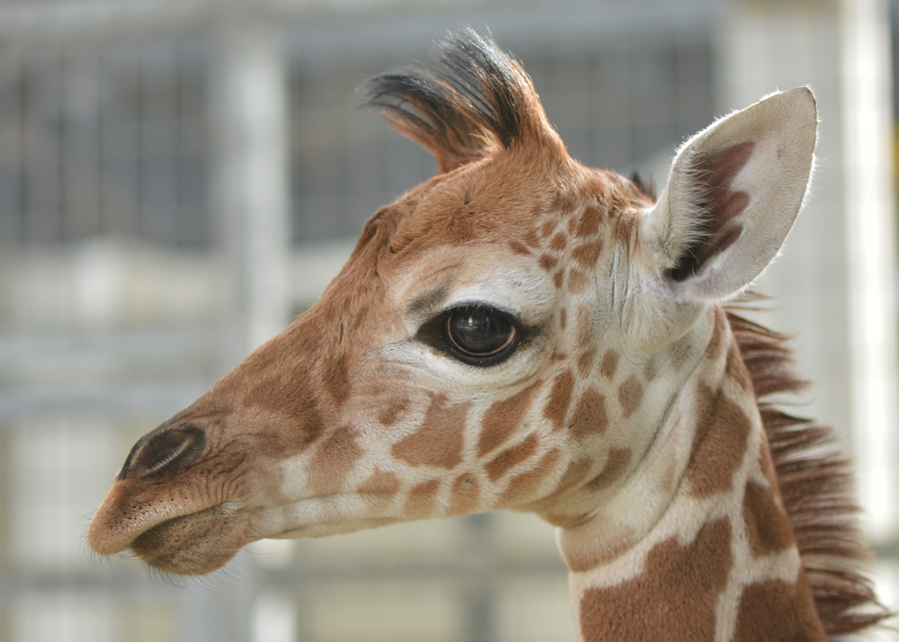 Giraffe at The Living Desert.jpg