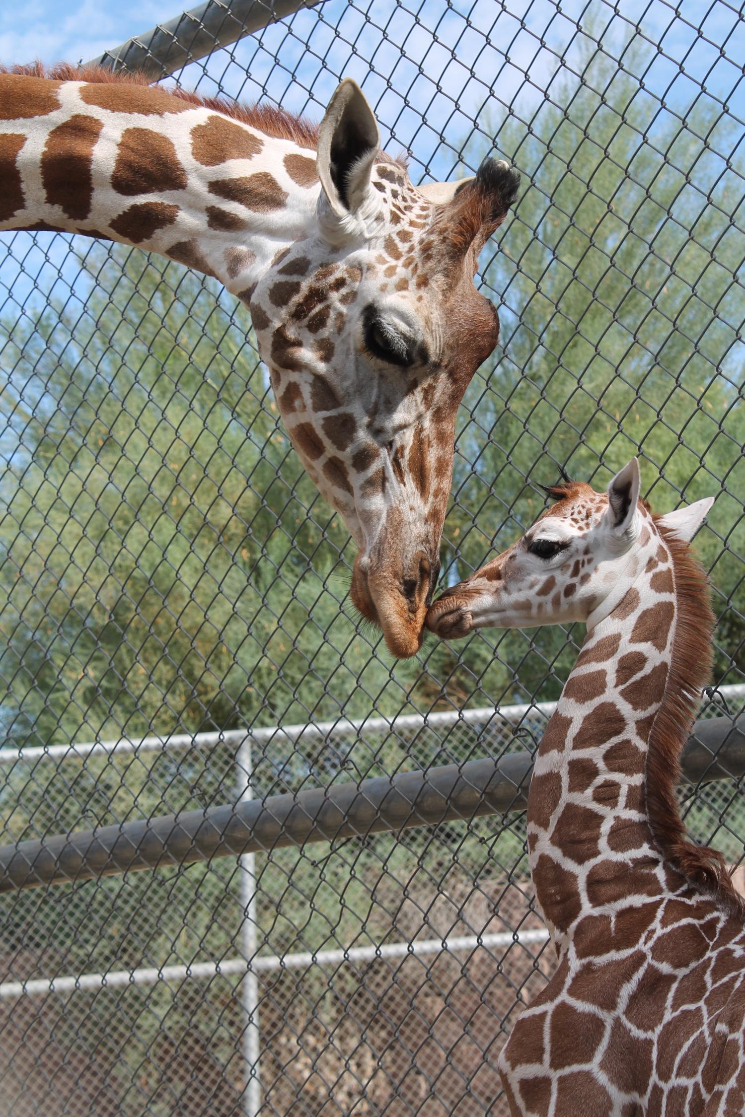 Giraffe Calf, born August 27 at The Living Desert.jpg
