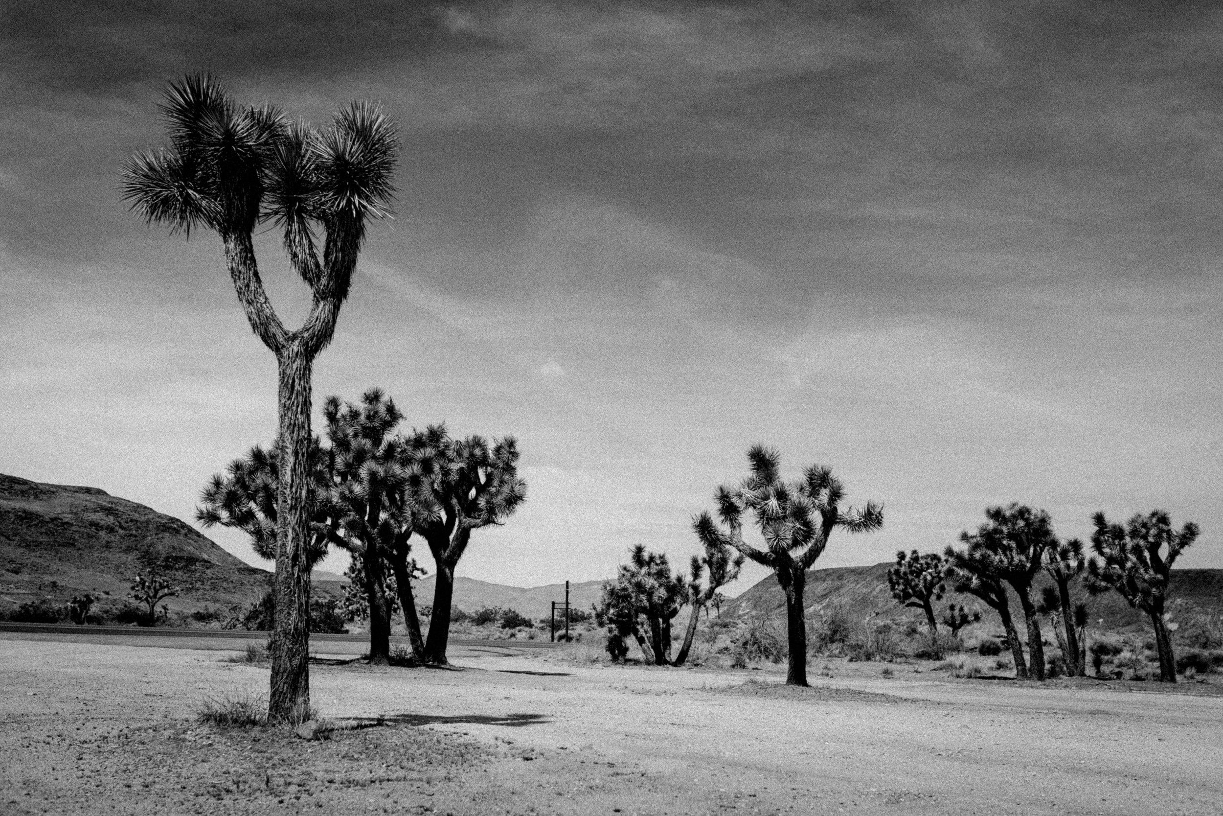Joshua Trees - Yucca Valley, California