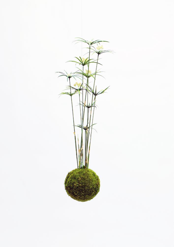 XL Kokedama -Cyperus reed