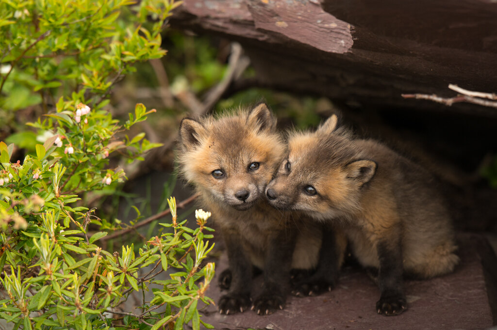 """"""" Twin Foxes """", by Sandy Spurrell"""