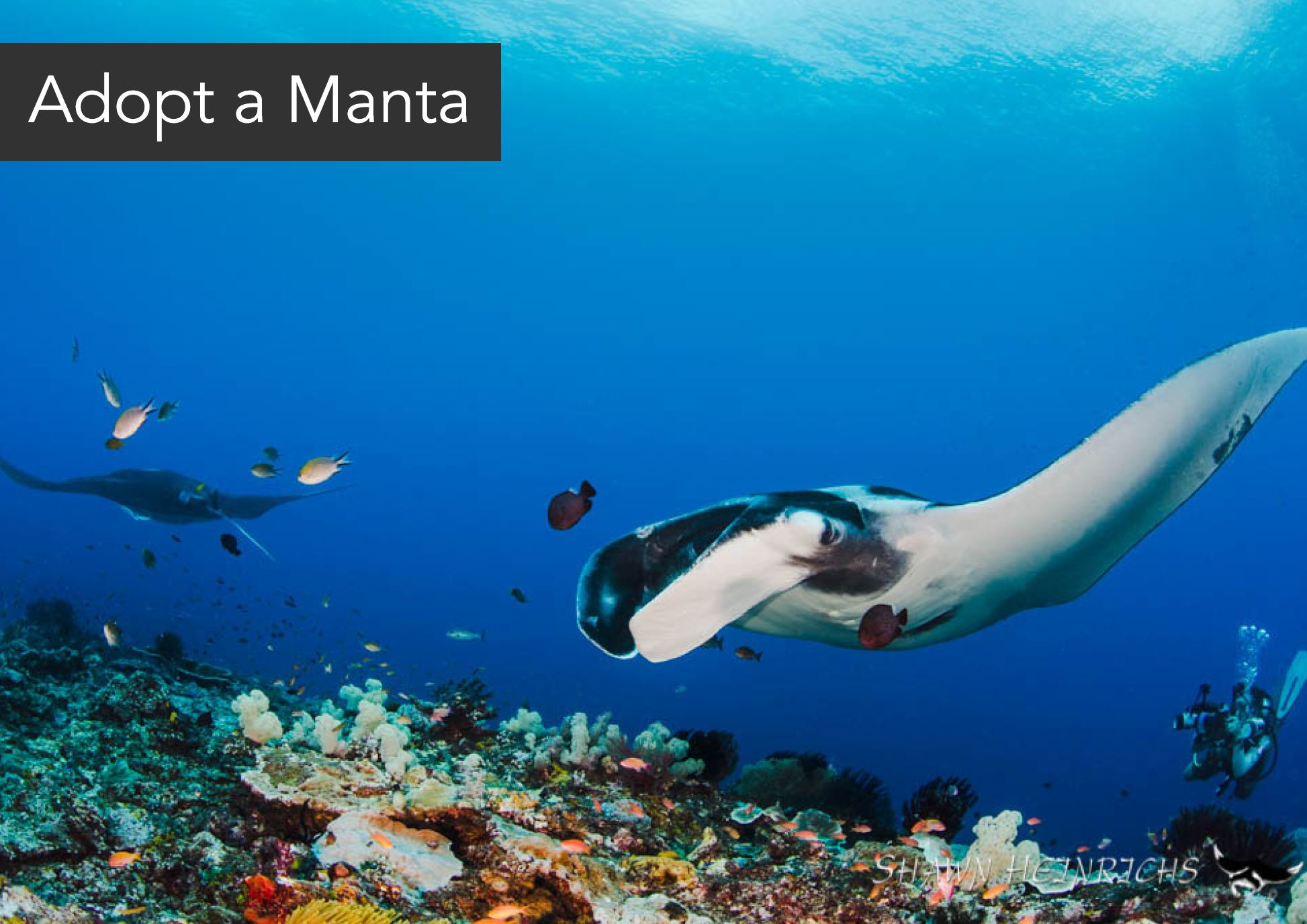 Adopt a manta - Adopting a manta is a great way to support the Misool Manta Project which carries out critical scientific research into the manta populations of Misool.It's super simple. Make a donation of US$200, name your manta and we'll send you a personalised certificate and updates from our team when your manta ray is resighted.To find out more, please send our fundraising team an email using the form below.