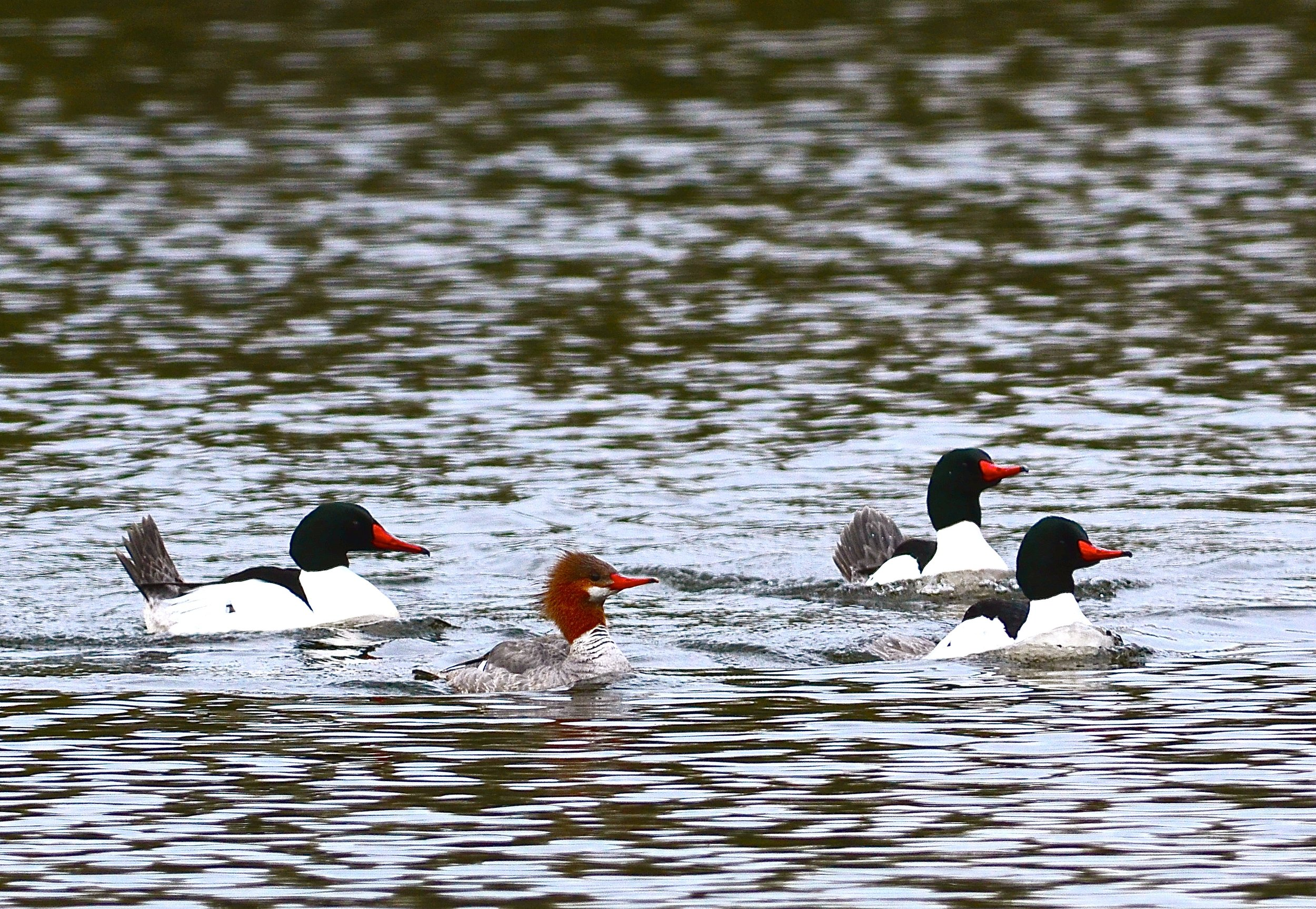 Common Mergansers are hosts to the parasite that causes swimmer's itch.  More work needs to be done to understand the factors that can lower the merganser population on lakes in Michigan.