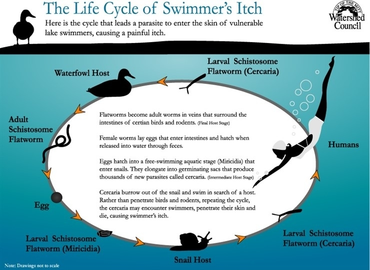 See above, courtesy of Tip of the Mitt Watershed Council, to understand the lifecycle of the swimmer's itch parasite, and it's various hosts. Note:  Humans are not a host to this parasite.  The free swimming cercaria, who are looking for a waterfowl host, can attempt to penetrate the skin of a human, at which point they die.  A percentage of humans have an allergic reaction to the penetration of the cercaria.  This reaction is called swimmer's itch.