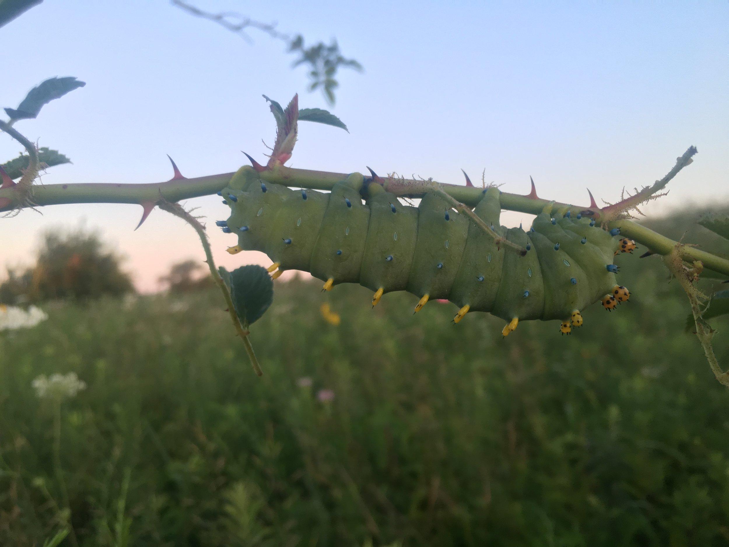 JJC_large moth caterpillar_GIL_2016.JPG