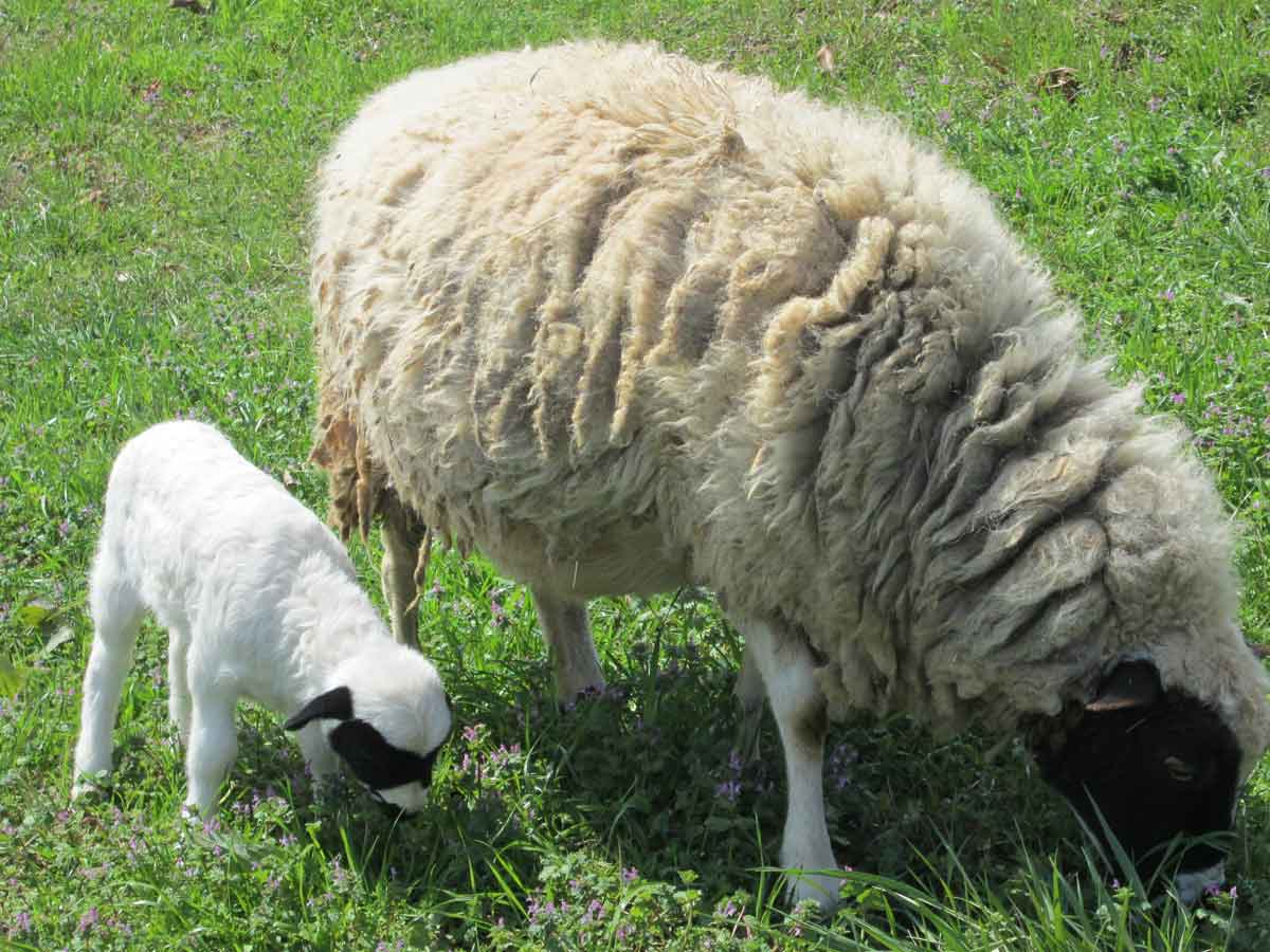 2 Week Old Lamb with her mother, Marigold
