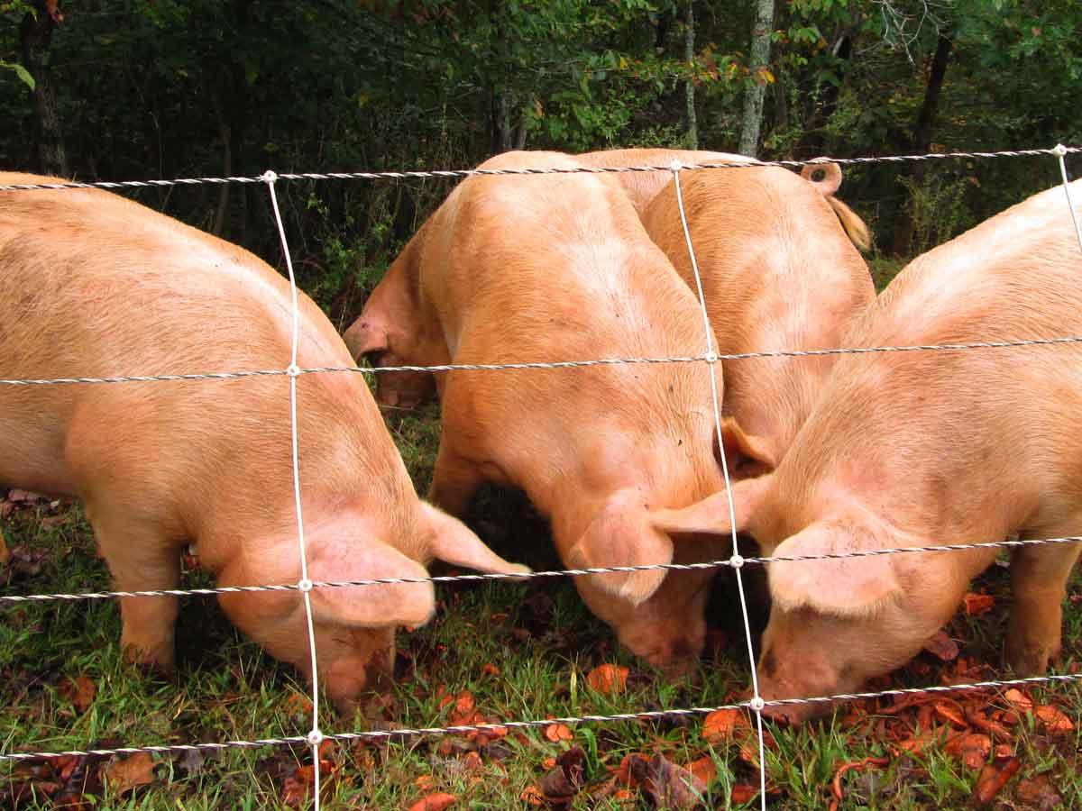 Foggy Knob Farm pigs enjoying farm raised sweet potatoes.